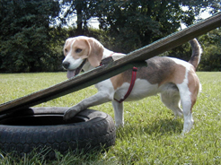 beagle training 001 web.jpg