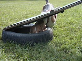 beagle training 002 web.jpg